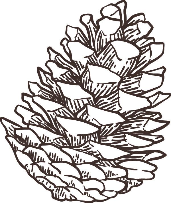 ponderosa pinecone